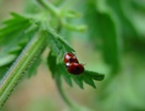 Ladybuglove